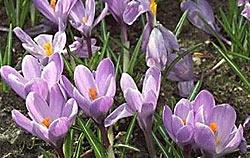 proljetni šafran
